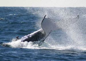 Whale Watching Sydney - Attractions Perth