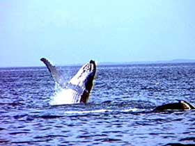 Whale Watching - Attractions Perth