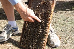 Bees on Keswick Island - Attractions Perth